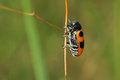 Leaf beetle a orange with black speckle on grass stem Royalty Free Stock Photos