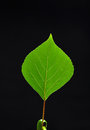 A leaf in the black background Stock Photography