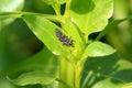 Leaf bug Royalty Free Stock Photo