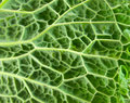 Leaf of Cabbage Stock Images