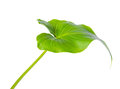 Leaf of Calla Lily flower is isolated on white background, close Royalty Free Stock Photo