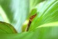Leaf of cannaceae Royalty Free Stock Photo
