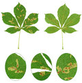 Leaf of chestnut tree attacked by horse chestnut leaf miner cameraria ohridella isolated Stock Images