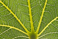 Leaf close up showing veins Royalty Free Stock Photos