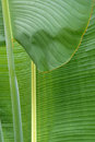 Leaf the close up of of travellers tree scientific name ravenala madagascariensis Stock Photos