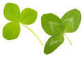 Leaf clover on white background Royalty Free Stock Photos