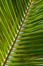 Leaf of coconut palm tree Royalty Free Stock Photo