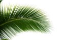 Leaf of coconut palm tree isolated on white background Stock Photo