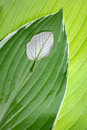Leaf comparison. Individuality Stock Images