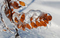 Leaf Covered With Ice
