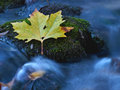Leaf at the creek a close up of one yellow and moss on stones in a stream in autumn long exposure shot is making running water as Royalty Free Stock Photo