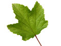 Leaf of currant Royalty Free Stock Photo