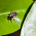 Leaf cutter extreme macro shot of a bee on a bright green Royalty Free Stock Images