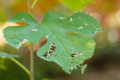 Leaf damaged by pests selective focus Royalty Free Stock Image