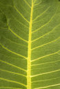 Leaf detail Royalty Free Stock Photo