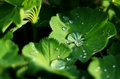 Leaf with dew leafs morning water drops green leafs on garden stem Royalty Free Stock Photography