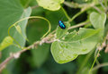 Leaf eating pests this is a specialized in leaves are to the plant which the body was wrapped in blue sparkling armor Royalty Free Stock Image