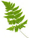 Leaf of fern on a white Stock Photo