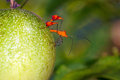 Leaf footed bug anisoscelis flavolineata on a passion fruit bocas del toro panama Stock Photography