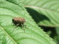 Leaf footed bug in sunny ambiance illuminated scenery including a brown on green vegetation Stock Images