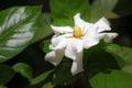 Leaf of Gardenia jasminoides flower Royalty Free Stock Photo