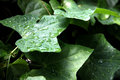 Leaf gourd and water drops the green in the vegetable garden Stock Images