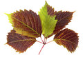 The leaf of grape Royalty Free Stock Photography