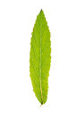 Leaf of great willowherb isolated on white green Royalty Free Stock Images