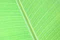 Leaf green as background or texture Royalty Free Stock Image