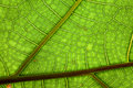 Leaf green background veins pattern jungle plant Royalty Free Stock Photo