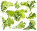 Leaf of green lettuce. Stock Images