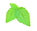 Leaf Hairy Basil. Royalty Free Stock Photos