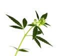 Leaf of hemp Royalty Free Stock Photo