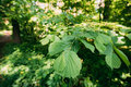 Leaf Leaves On Branch Of Green Alder Or Alnus Viridis Tree Growing Royalty Free Stock Photo