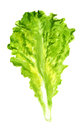 Leaf of lettuce watercolor image green Stock Image
