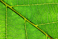 Leaf macro Stock Photography