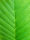 Leaf macro Royalty Free Stock Photo