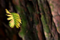 A leaf of Metasequoia trees Royalty Free Stock Photo