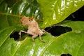 Leaf mimic katydid Royalty Free Stock Photo