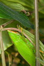 Leaf-mimicking katydid. Royalty Free Stock Images