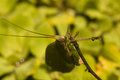 Leaf-mimicking katydid clinging to branch Royalty Free Stock Photo