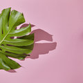 Leaf Monstera On Pink Background