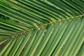 Leaf of the palm tree background Stock Image