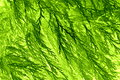 Conifer leaf background. Royalty Free Stock Photo
