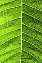 Leaf of a plant Royalty Free Stock Photo