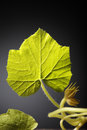 Leaf pumpkin on a dark background fresh Royalty Free Stock Images