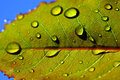 Leaf with rain droplets photo of a Royalty Free Stock Image
