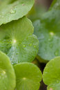 Leaf with rain drops green water on it fresh on Royalty Free Stock Photography