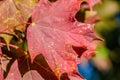 Leaf, Red Maple Tree