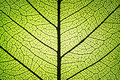 Leaf ribs and veins Royalty Free Stock Photo